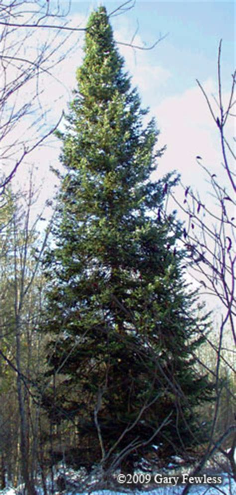 trees  wisconsin abies balsamea balsam fir