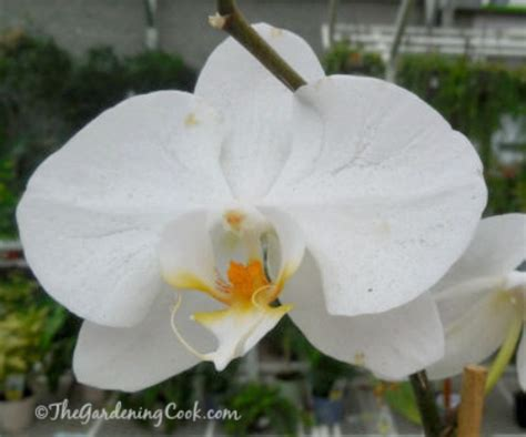 orchids temperature moth orchids phalaenopsis great choice for beginners the gardening cook