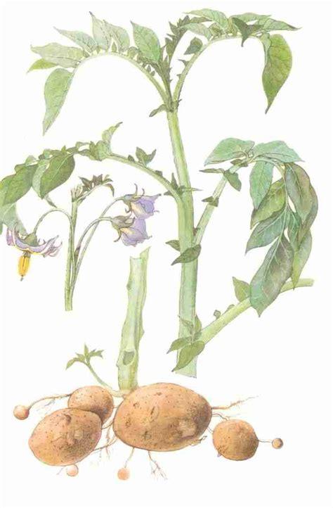 pomme de terre m 233 decine et sant 233