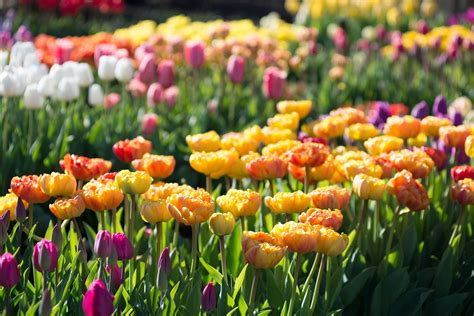 when do u plant tulips planting tulip bulbs in your vegetable garden longfield gardens