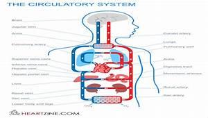 Blake H Circulatory System