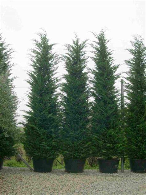 leyland cypress trees planet cupressocyparis leylandii leyland cypress