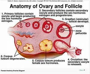 Ovary Diagram