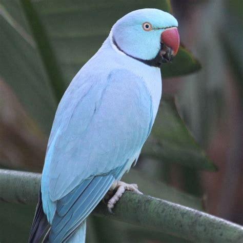 indian ringneck parakeet parakeet indian ringneck blue male beautifull creatures pinterest