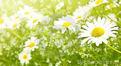 field daisy flowers stock images image