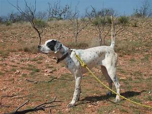 English Pointer Puppies, Started Dogs, Southern Hills ...