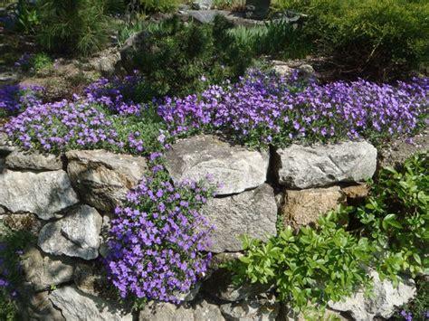 pflanzen für steinmauer blaukissen bodendecker bl 252 te m 228 rz mai mauerbl 252 mchen wallflower garten