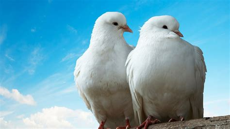 what is a dove like as a pet pet bird youtube