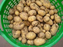 wann kartoffeln pflanzen kartoffeln anbauen anleitung gartenhaus gebraucht