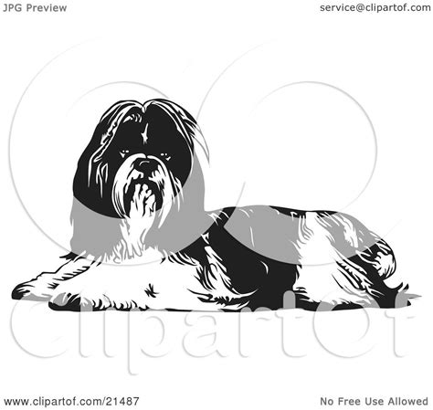 clipart illustration   long haired shih tzu dog lying      viewer
