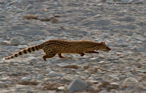 small indian civet wildlife  pakistan
