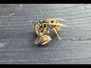 Kupfer Gegen Wespen : wespe gegen biene wasp vs bee youtube ~ Watch28wear.com Haus und Dekorationen