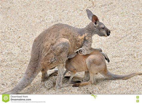 Kangaroo Mother And Kid Royalty Free Stock Photo Image