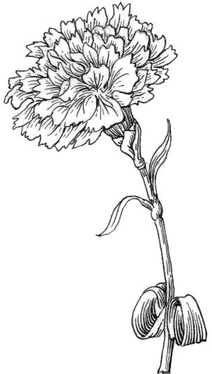 Carnation (PSF) grayscale | ΧΩ | Carnation drawing, Coloring pages, White carnation