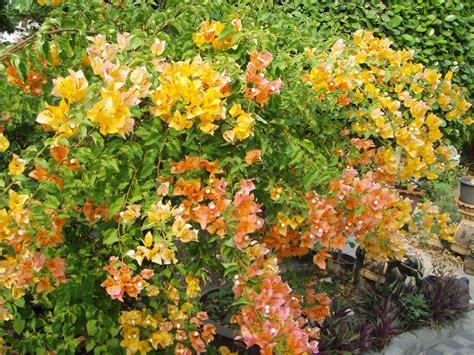 bougainvillea colors pics for gt bougainvillea flower colors drought tolerant