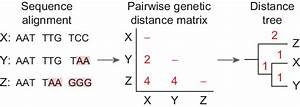 Distance Methods Of Phylogenetic Tree Construction Involve