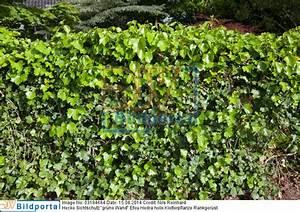 Immergrüne Kletterpflanze Für Zaun : sichtschutz efeu hecke kollektion ideen garten design ~ Michelbontemps.com Haus und Dekorationen