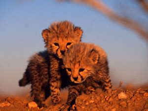 baby animal pictures animal wallpapers world wildlife fund