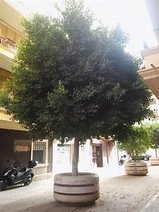 Cultura De Sevilla  Los  U00e1rboles En Maceta  Una Soluci U00f3n A