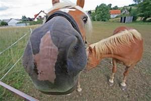 Bilder Zum Kaufen : nein pferde sind nicht neugierig das ist aber eine echte neugiernase foto bild tiere ~ Yasmunasinghe.com Haus und Dekorationen