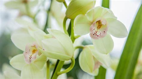 Zimmerpflanzen Richtig Pflegen 7 Tipps by Orchideen Pflegen Richtig Gie 223 En Und D 252 Ngen