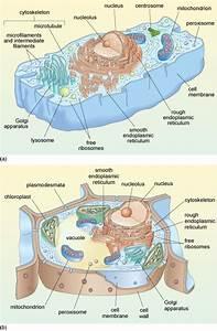Chloroplast Under Microscope Labeled