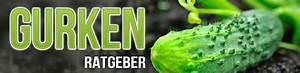Gurken Im Kübel : gurken selber pflanzen anbau pflege und ernte gew chshaus vergleich ~ Frokenaadalensverden.com Haus und Dekorationen