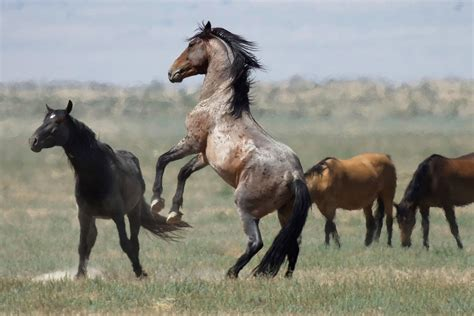 wild horse horses mustangs there many western colorado near blm ap range rein salt lake them jumps herds among government