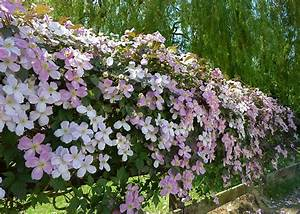 Clematis montana to cover a 5' high fence — Forum ...