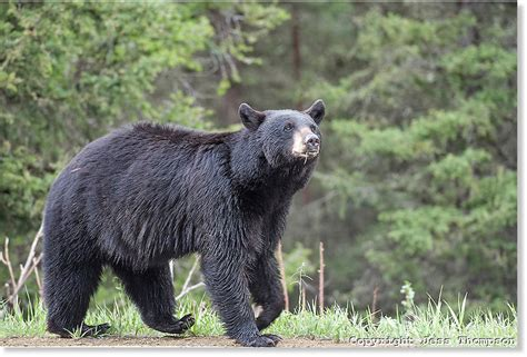 black bear attacks  wounds hiker  douthat state park