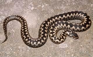 UK Adder Snake