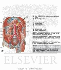 Arteries Of Posterior Abdominal Wall Blood Supply Of The