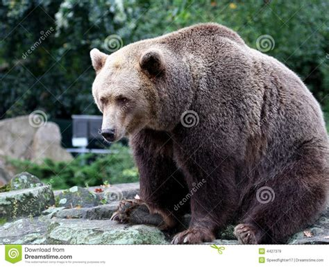 Brown Bear Canada Royalty Free Stock Images  Image 4427379