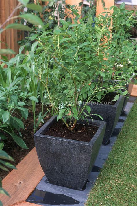 growing blueberries in pots plant flower stock