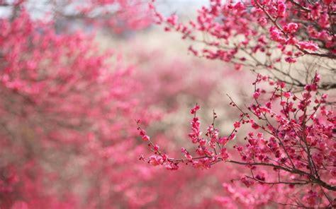 Gambar Wallpaper Bunga Sakura Wallpaperscraft
