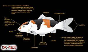 Koi Fish Skeleton Anatomy Diagram  Koi Fish External