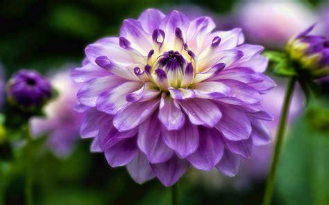 Dahlia Flower Plants Purple Flowers Computers Hd Desktop