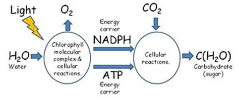 photosynthesis encyclopedia article citizendium