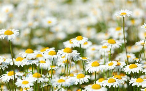 flowers field daisies meadow prairie bokeh wallpaper