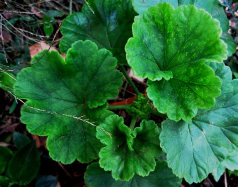 geranium leaves  stock photo public domain pictures