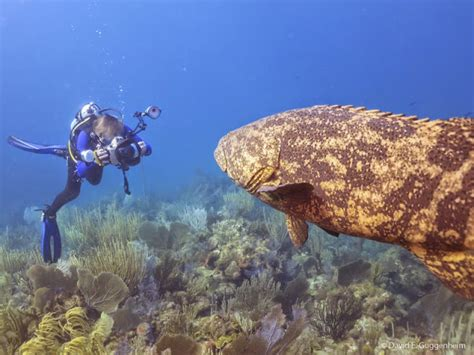 goliath grouper atlantic endangered cuba conservation groupers lifted embargo protected ocean pouted