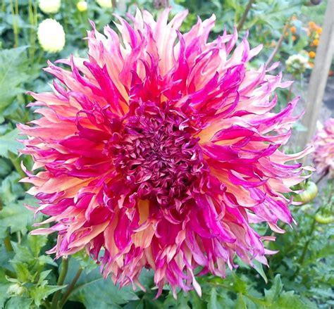 Botāniskajā dārzā Salaspilī zied dālijas /FOTO/ - NTZ