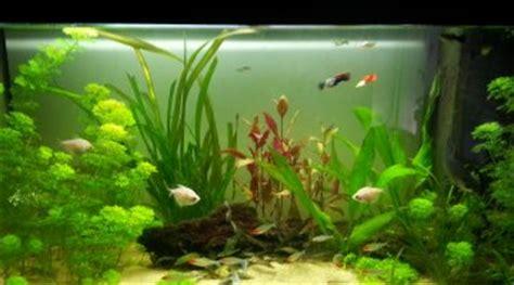 nombre de poisson dans un aquarium cherche une maison 224 2 requins balantiocheilos melanopterus