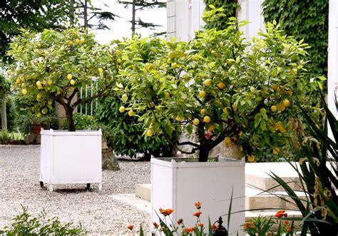 taille d un citronnier en pot citronnier planter et entretenir ooreka
