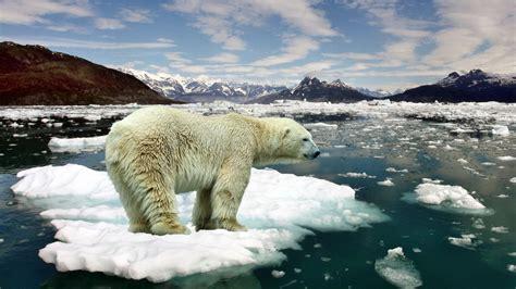 beautiful desktop background hd polar bear floes  ice