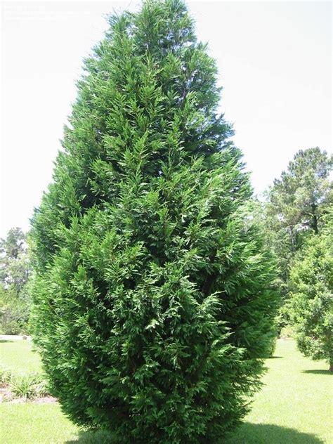 leyland cypress plantfiles pictures leyland cypress x cupressocyparis leylandii 1 by patp