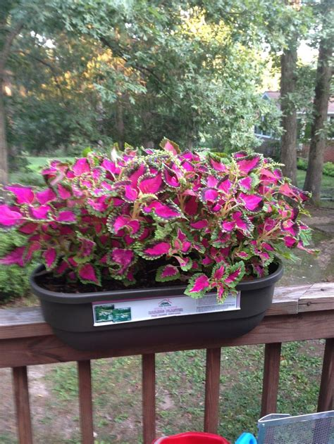 coleus garden coleus plant care and collection of varieties garden org