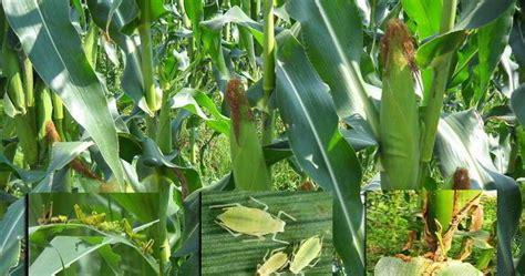 hama  penyakit  tanaman jagung