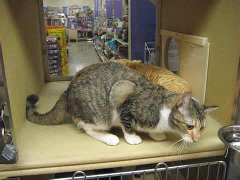 petsmart cats adopt a bad cat bad cat chris