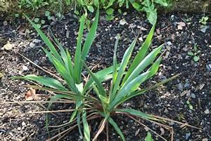 Yucca Palme Winterhart : yucca palme pflege der palmlilie tipps zum berwintern ~ A.2002-acura-tl-radio.info Haus und Dekorationen
